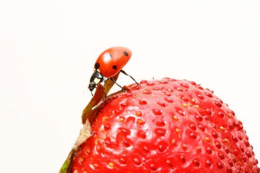 ladybug gourmet