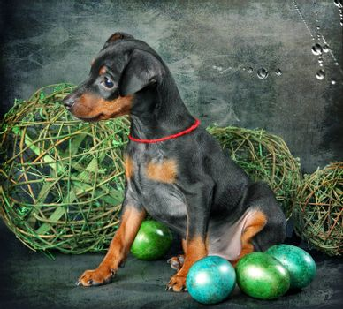 The Miniature Pinscher puppy, 2.5 months old, in the background of the eggs with space for text