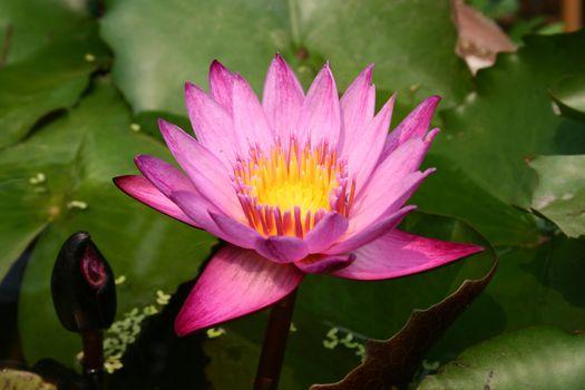 Purple Lotus Blooming