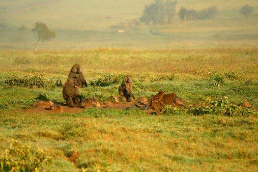 Monkeys in the wild