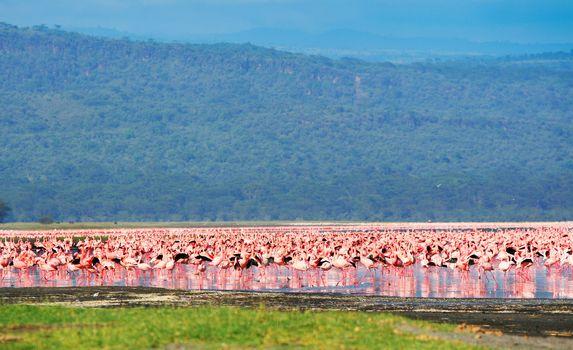African flamingos