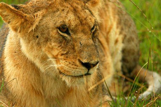 Lioness under rain in the wilderness