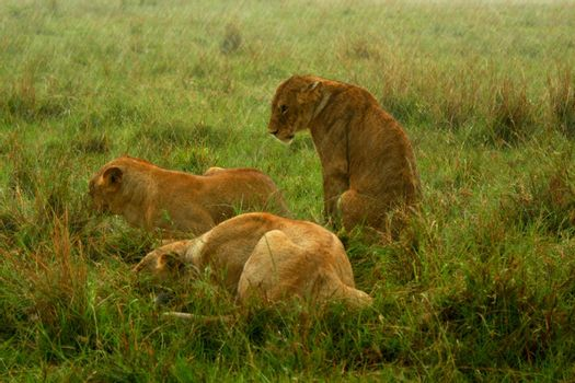 Family of Lions under the rain