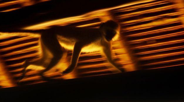 Running monkey slow motion