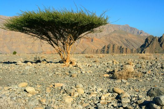 Single tree in Omans Desert