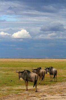 Herd of African Wildebeest grazing