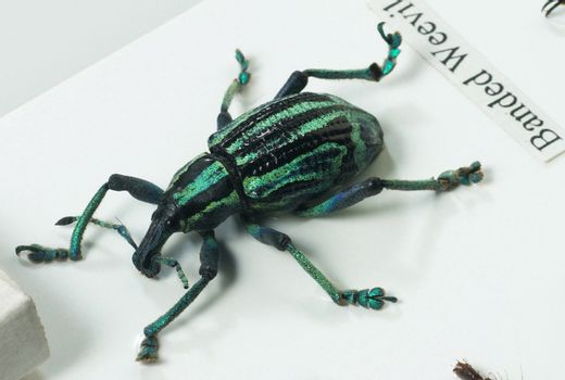 close up of the  beetle