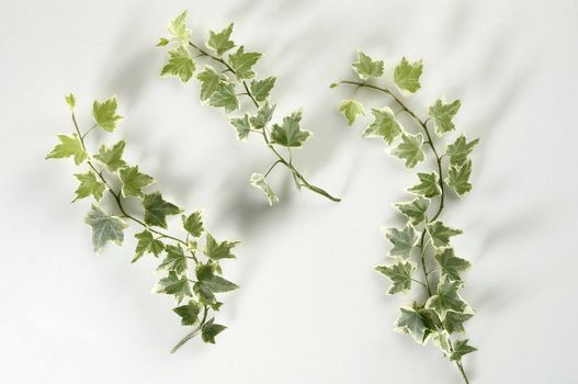 images of the ivy leaf on the plain background