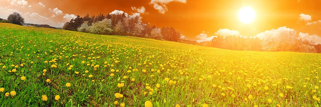 Beautiful spring panoramatic shot with sunset over the dandelion meadow