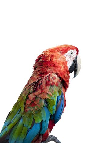 colorful parrot over white background