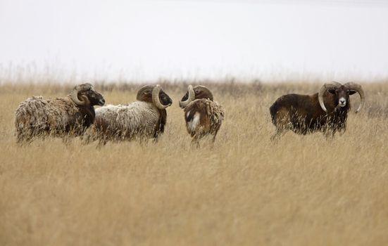 European big horn sheep