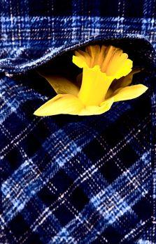 Daffodil in Shirt Pocket