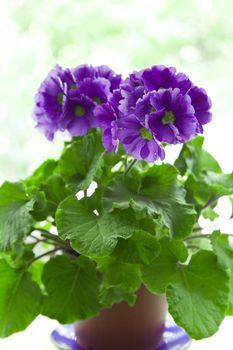 violet in brown pot