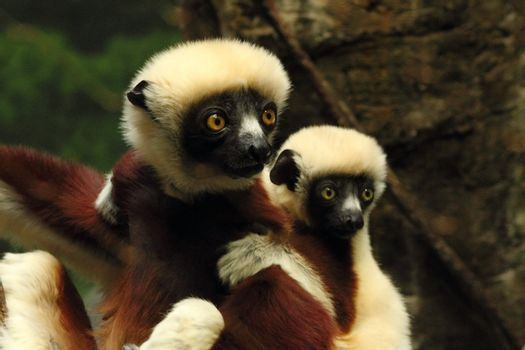 Indri Mom and Baby