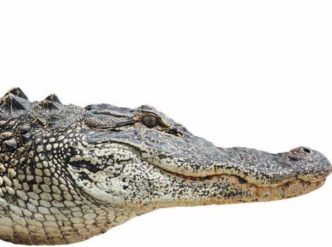 Alligator Head 1