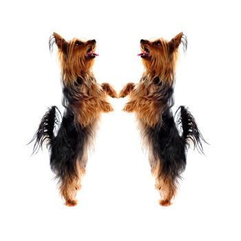 Two loving Yorkshire Terrier pets