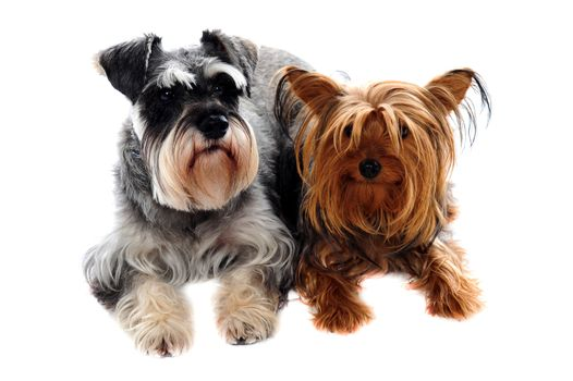 Schnauzer and Yorkshire Terrier lying on floor against white background