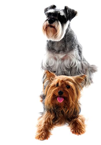 Schnauzer and Yorkshire Terrier. Pets