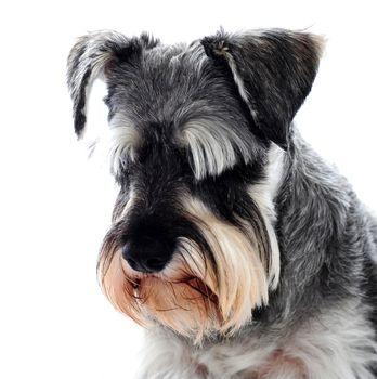 Black Schnauzer dog looking down