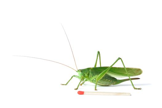 Great Green Bush-Cricket (tettigonia viridissima) with a match to show its size