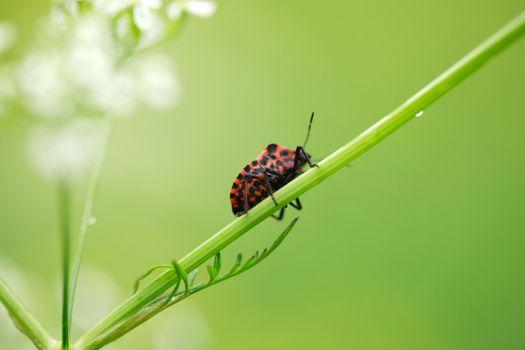 Beetle On Stalk