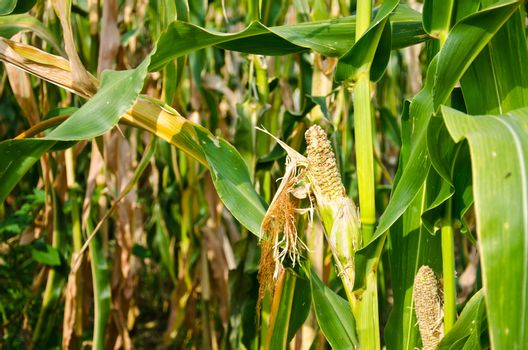 Damage of cornfield