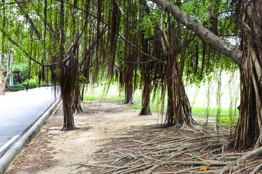 Walking along the banyan tree