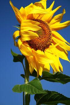 Fresh yellow sunflower