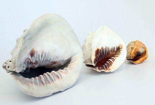 Helmet Conch's 2