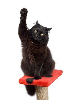 voting black cat