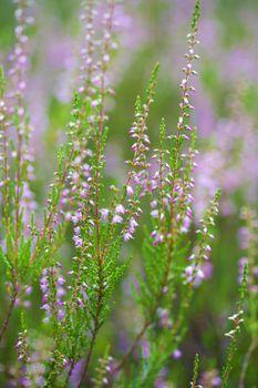 heather field background