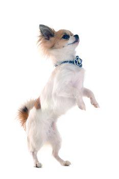 chihuahua upright