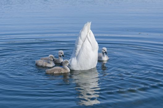 Parent swan with offspring
