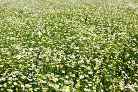 field with lots of chamomiles