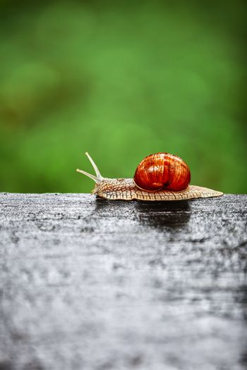 Big snail crawling on a wooden surface