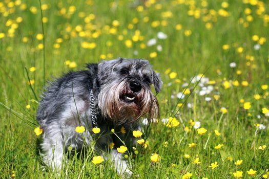 schnauzer in grass
