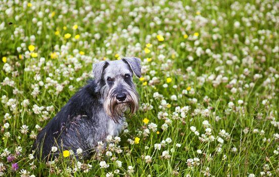 schnauzer sit in grass