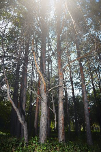 Pine forest in summer with sun as the backlight. Vertical photo