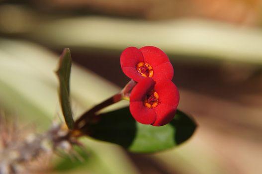 Christ plant