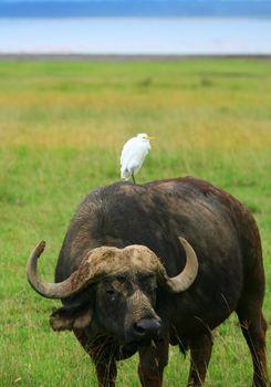 Wild Buffalo and Bird