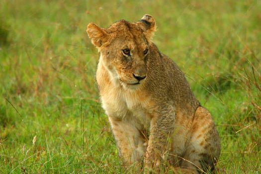 Young Lion under rain