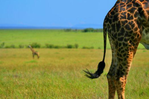 Close-up on Giraffe skin