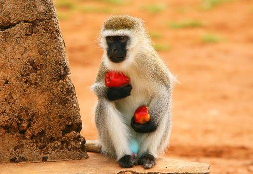 Portrait of wild hungry monkey