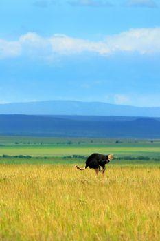Ostrich grazing