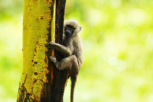 Wild African monkey