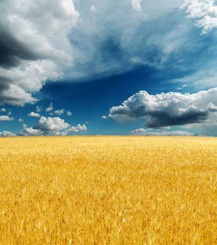 golden harvest field under dramatic sky. rain before