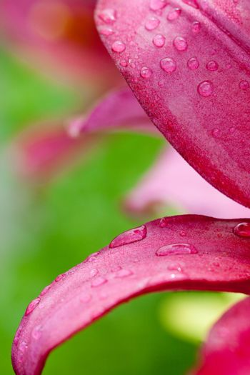 pink lilly flower with water drops