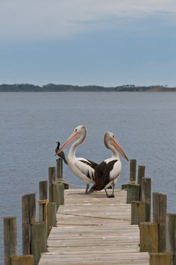Two pelican birds on a timber landing pier with another bird