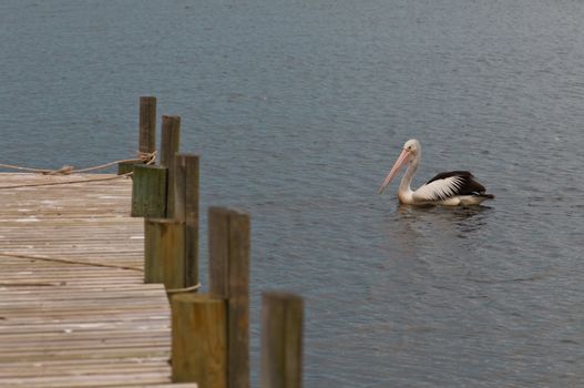 Pelican in the silent water next to a timber landing pier, mooring