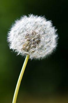 One dandelion flower isolated
